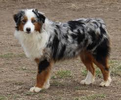 3 winds ranch australian shepherd rockin d australian shepherd females