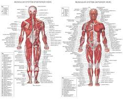 articles on the muscular system u2013 hd m com