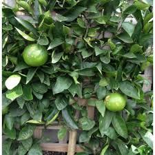 buy espalier lemon plants