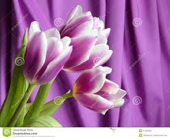 Images Of Tulip Flowers - tulip flowers mothers day valentines stock photos stock photo
