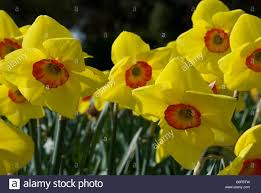 narcissus pooka daffodil stock photo royalty free image