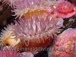 anemone species index
