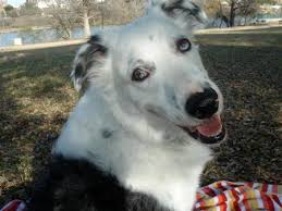 australian shepherd yahoo answers dog section post a well bred and badly bred version of your