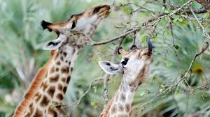 giraffe pair eating ngsversion 1411232116936 adapt 1900 1 jpg