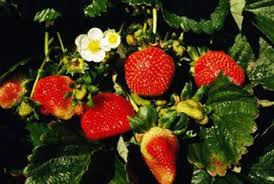 Strawberry Plant Diseases - when to put fungicide on strawberries home guides sf gate