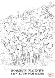 south dakota state flower coloring page free printable coloring