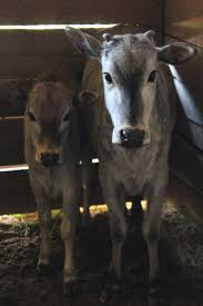 15 best zebus images on pinterest farm animals zebu cow and animals
