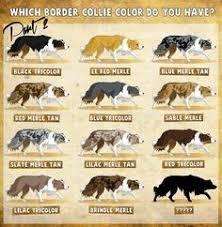 australian shepherd colors australian shepherd color chart all aussies have various face