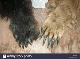 grizzly claws claws of black and grizzly on display at fish creek