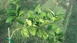 When Does A Lemon Tree Produce Fruit - lemon fruit tree grown from seed flowering youtube