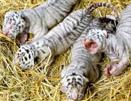 lions for sale white lion white tiger cubs cheetah cubs panther babies