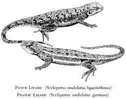Seeking Lizard Cast Vol 11 No 4 Lizards In Kansas The Kansas School Naturalist