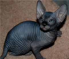 the sphynx cats characteristics history and pictures
