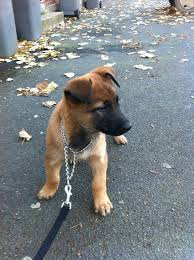 belgian malinois markings pastor belga malinois hannibal animales pinterest belgian