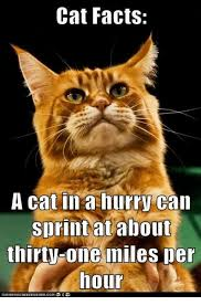 Cat Facts Meme - cat facts a cat in a hurry can sprint at about thirty one miles per