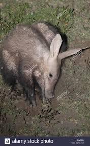 aardvark earth pig ant bear subadult foraging feeding nocturnal