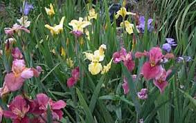Irises How To Plant Grow by Louisiana Iris Growing Tips Culture And Propagation