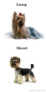 types of yorkie haircuts pictures the 25 best yorkie hairstyles ideas on pinterest yorkie cuts