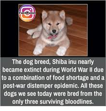 Shiba Inus Meme - fact point the dog breed shiba inu nearly became extinct during