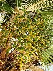 Palm Trees Fruit - hawaii palm trees