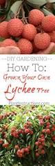 lychee fruit inside 25 beautiful lychee seeds ideas on pinterest lychee fruit