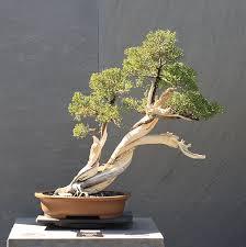 Como hacer un buen bonsai de pino