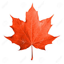 red maple leaf images u0026 stock pictures royalty free red maple