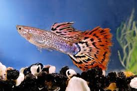 ornamental fish sri lanka source quality ornamental fish sri lanka
