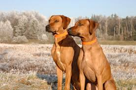 lion dogs top 7 dog breeds for hiking