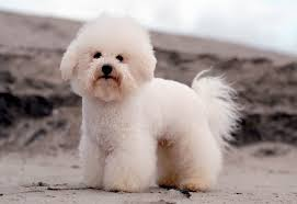 bichon frise breed standard canadian kennel club club canin canadien