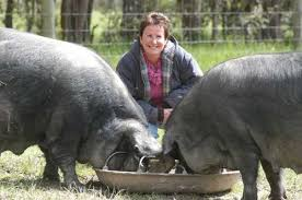 www large the large black pig