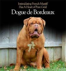 affenpinscher puppies for sale in ohio dogue de bordeaux puppies for sale from responsible dog breeders