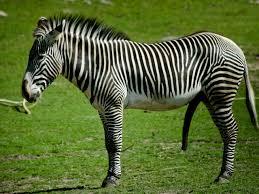 animal zebra wallpaper wallpup com