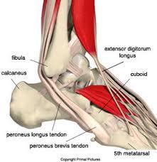 High Ankle Sprain Anatomy 17687 Anatomyperonealtendons 2 Jpg