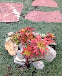 red succulents in walkway surrounded by rock and dymondia ground