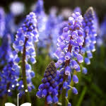 common purple garden flowers tavuekrt decorating clear