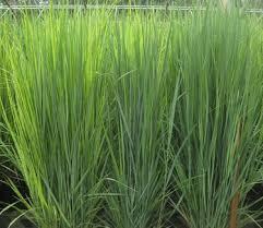 867 best ornamental grasses images on ornamental