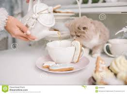 nice selkirk rex cat looking into tea cup on table stock photo