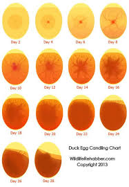Count Your Chicken Before They Hatch Pdf 8th Annual Byc Years Day 2017 Hatch A Backyard Chickens