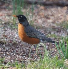New Jersey birds images Early spring birds in new jersey robin and red winged blackbird JPG