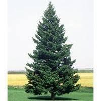 best 25 douglas fir tree ideas on douglas fir tree