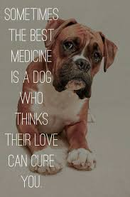 boxer dog funny 1760 best boxer dog images on pinterest boxer love boxers and