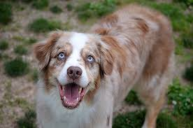 8 year old australian shepherd the colorful breed central aussie rescue and support