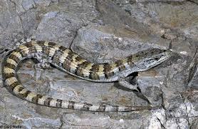 identifying alligator lizards in california