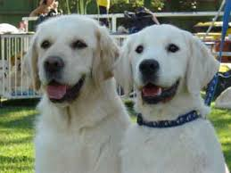 funny animals wallpapers white golden retriever puppies