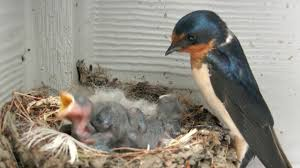Barn Swallow Nest Pictures Baby Barn Swallows Day 4 Youtube