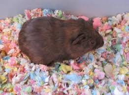 Best Bedding For Rats Best 25 Guinea Pig Bedding Ideas On Pinterest Guinea Pig Hutch