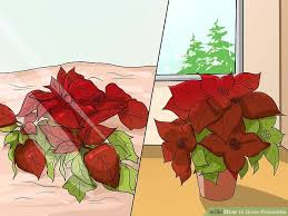 Pointsettia How To Grow Poinsettia With Pictures Wikihow