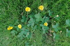 perennial peanut ornamental ground cover or invasive