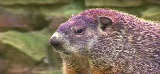 how to get rid of groundhogs control methods catch and repel